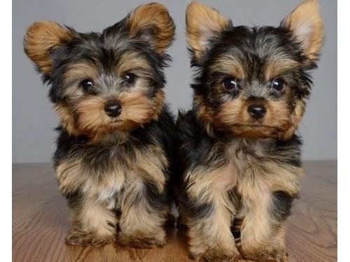Mini Yorkie Puppies