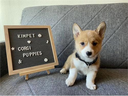 AKC Welsh Corgi Puppy