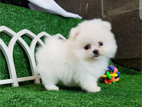 admirable Pomeranian pup