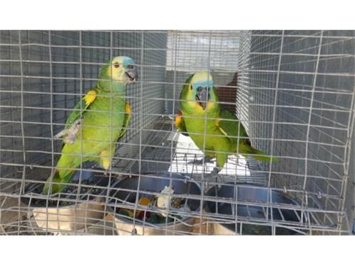 Amazon parrot loro pair