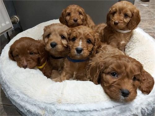 Beautiful Cavapoo pups