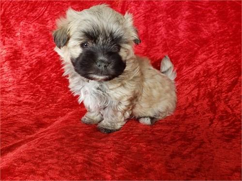 Malshi Puppies M/F