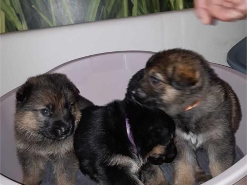 kGer.man She.pherd pups