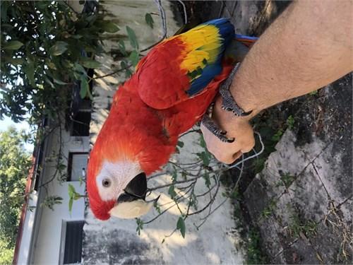 Babies Scarlet Macaw