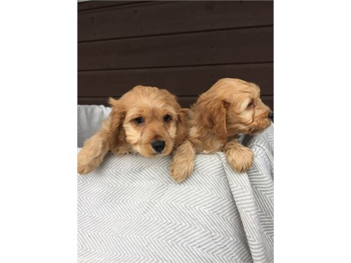 available Cockapoo pupps