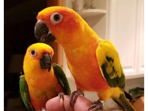 Tamed Sun Conure birds