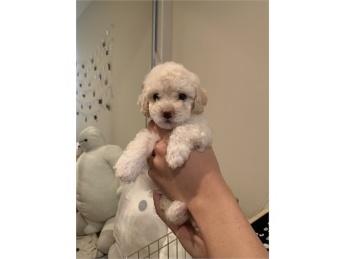 Toy Poodle Little Boy