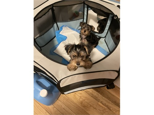 To Yorkie Puppy's Availab