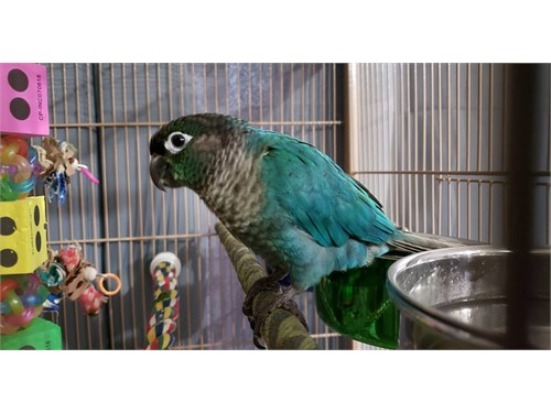 Turquoise conure