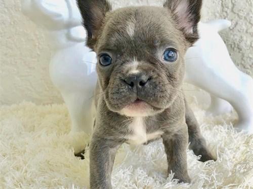 frenchie pupies
