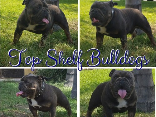 BLUE TRI ENGLISH BULLDOG