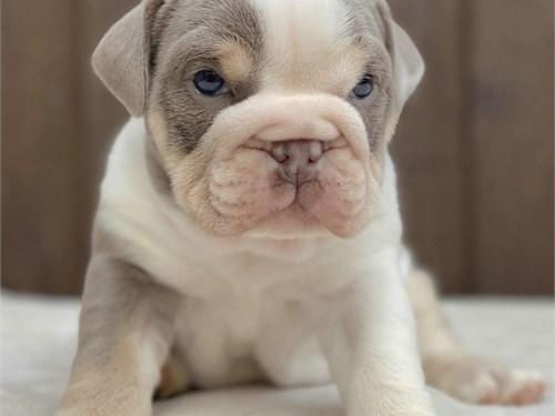 Cute English Bulldog Pups