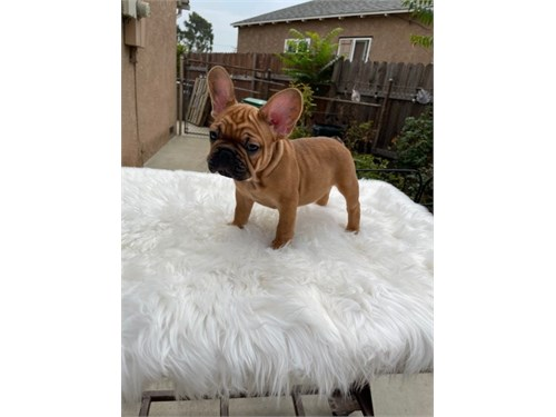 French Bulldogs Pupps