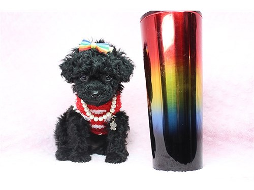 Teacup & Toy Poodle Pupps