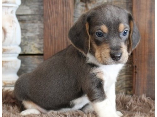 BALANCED Beagle puppies