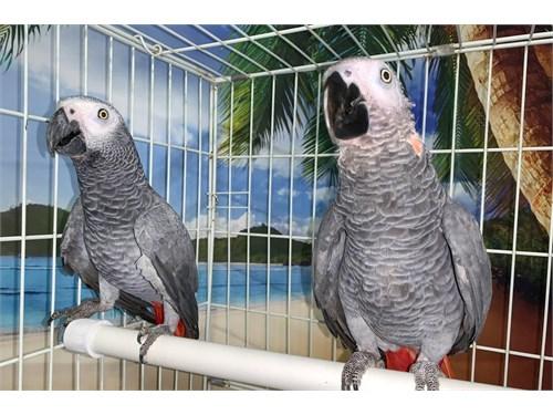 Pair of African Grey