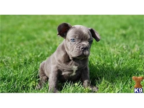 Content French Bulldog