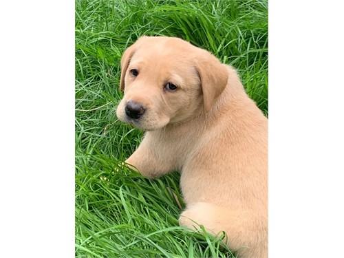 Golden Retriever puppies,