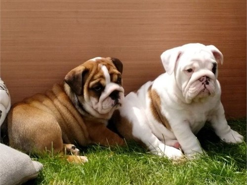 AKC English Bulldog For S