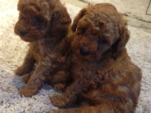 Red poodle Family
