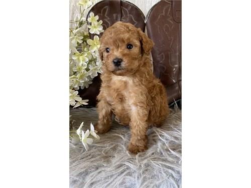 Affectionate Poodle Pups