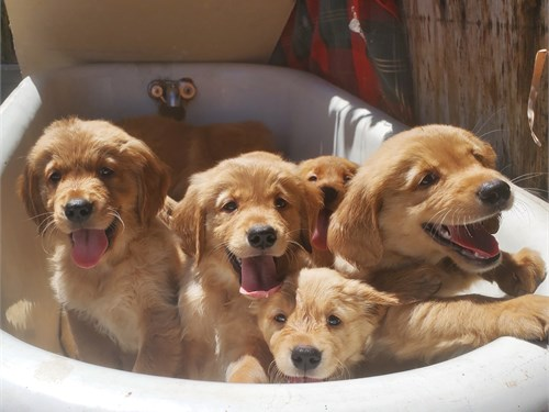 Pure Bred Goldens