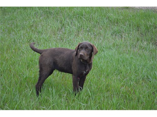 Hybrid Labrador Retriever