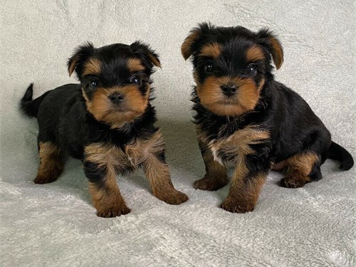 Yorkshire Puppies Ready