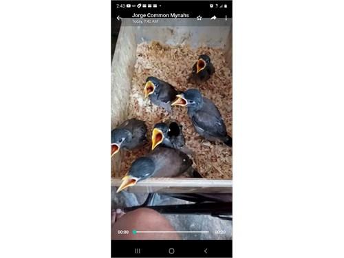 Common mynah bird handfeed