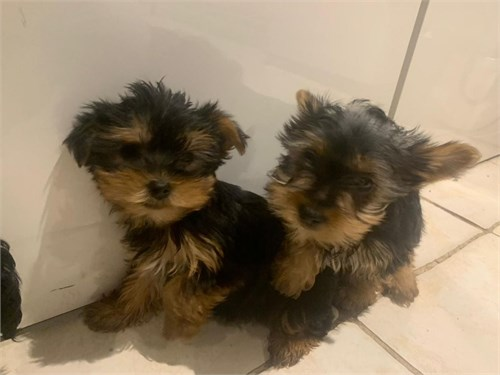 Cute teacup yorky pups
