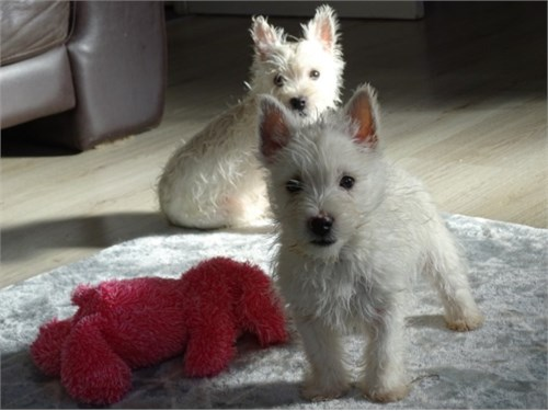 Adorable Westie Puppies