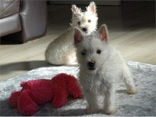 Adorable Westie Puppies