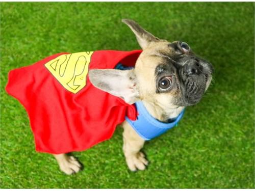 Super French Bulldog Pupp