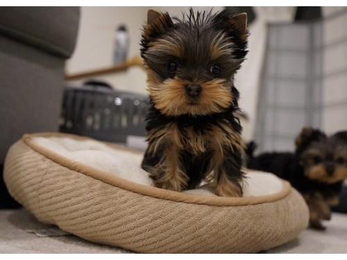 Yorkie Pups For Sale.