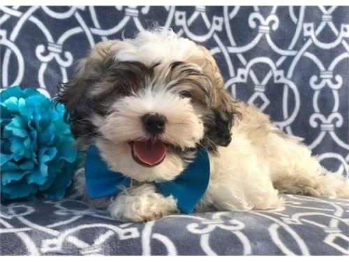 Gorgeous Shichon pups