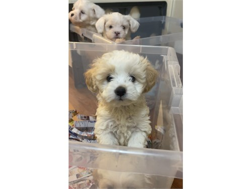 Gorgeous Maltipoo Females