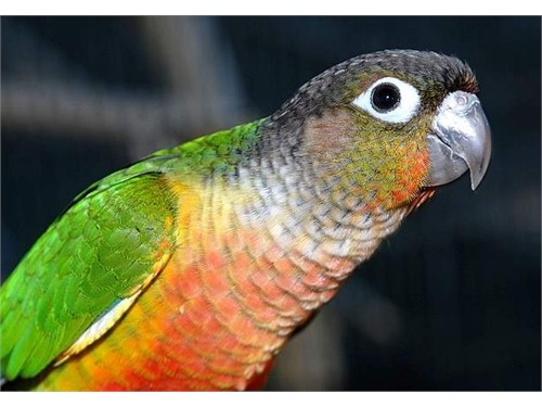 YELLOWSIDED CONURE 195