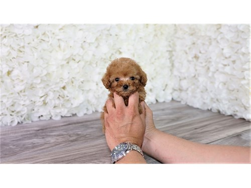 Teacup red poodle puppy