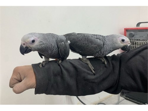 Cute African Grey Parrot