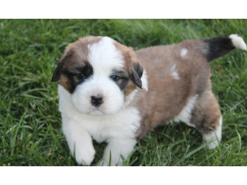 Lisa Saint Bernard pups