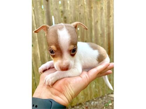 AKC Toy Chi+huahua Pups
