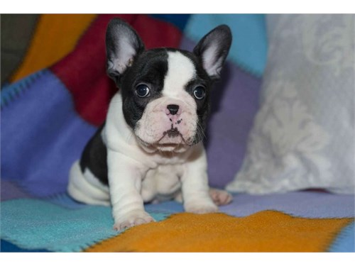 French Bulldog Puppies Ak