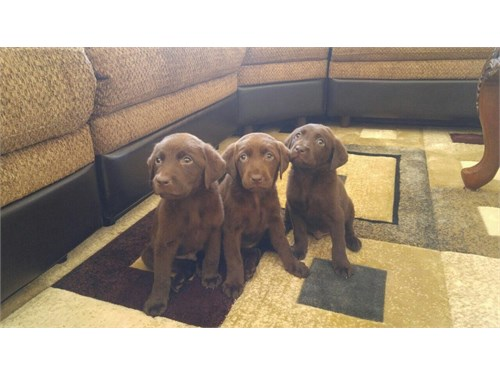 English Labrador puppies