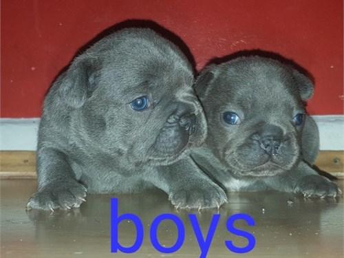 90048Sweet French bulldog