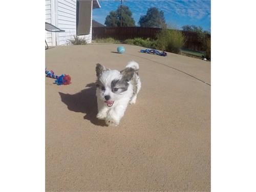 Male Teddy Bear Puppy!!