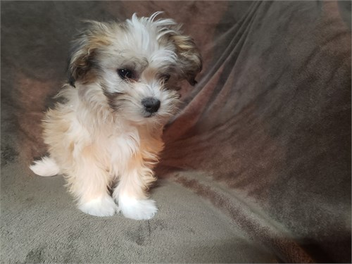Morkie Puppies Males