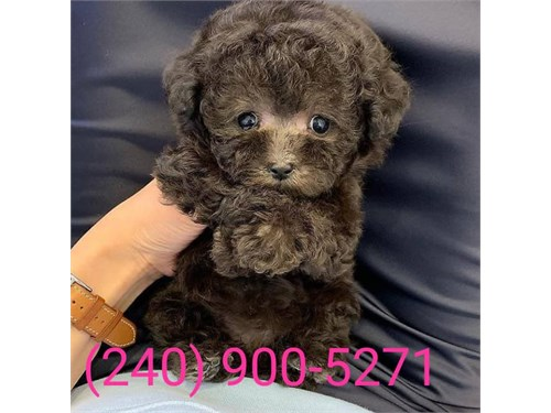 Nice toy poodle puppies**