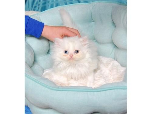 Odd eyed White Persian