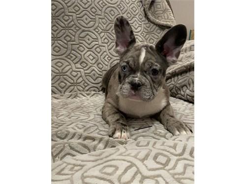 Merle &fawn AKC Frenchie