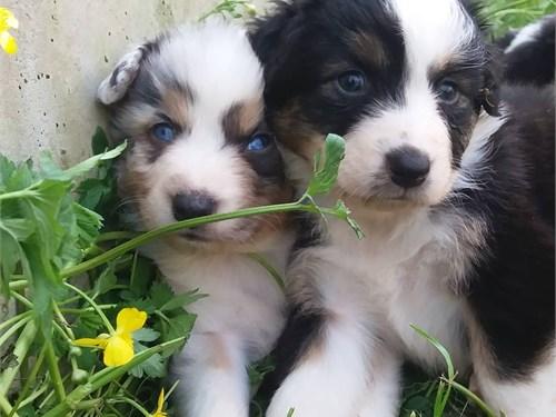 Cute aussie puppies